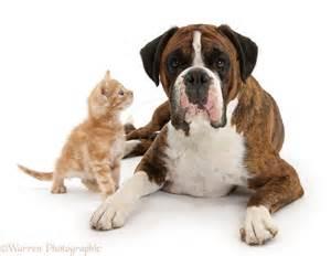 boxer&cat