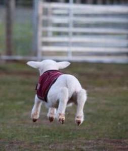 hover lamb_1